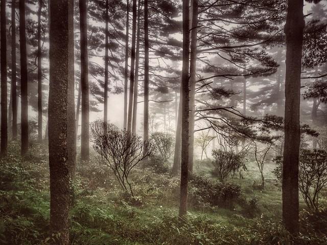 Pinetrees of Huangshan (explore)
