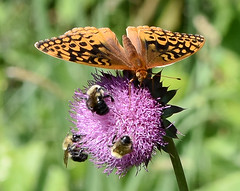 Great spangled fritillary, bumblebees