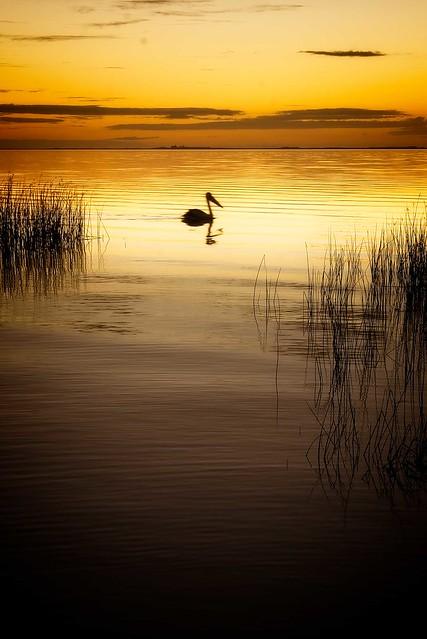 Lake Albert Pelican