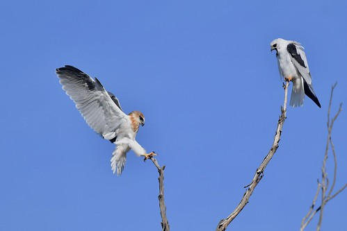Black-shouldered Kites ( Look Dad just like yesterday ) | by friendsintheair