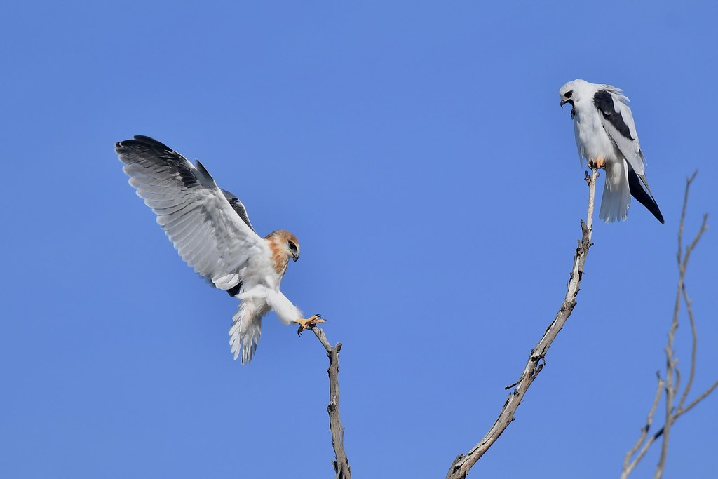 Black-shouldered Kites ( Look Dad just like yesterday )