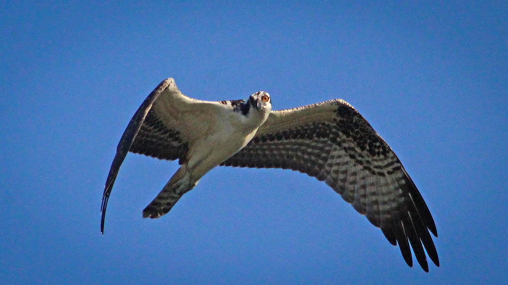 2020.06.18 Sweetwater Wetlands Osprey 10