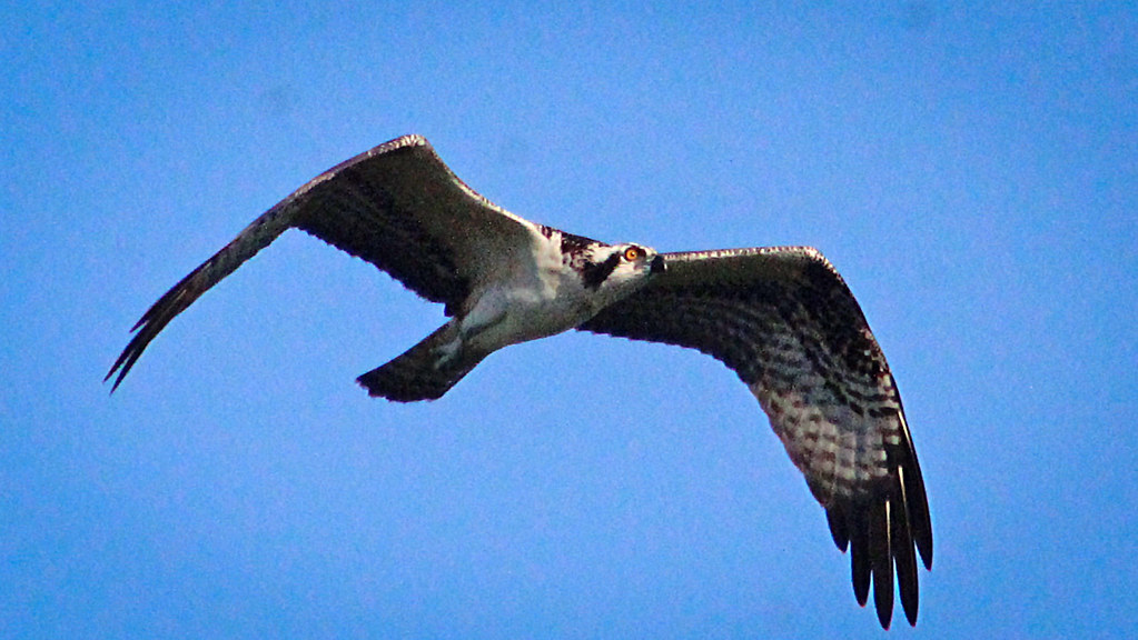 2020.06.18 Sweetwater Wetlands Osprey 7