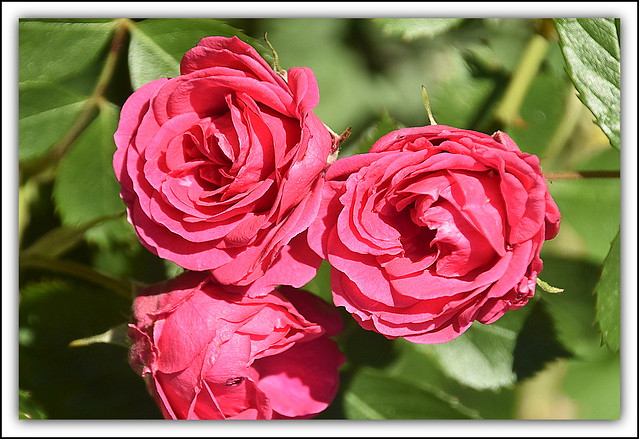 Flower Of The Day - Red Roses