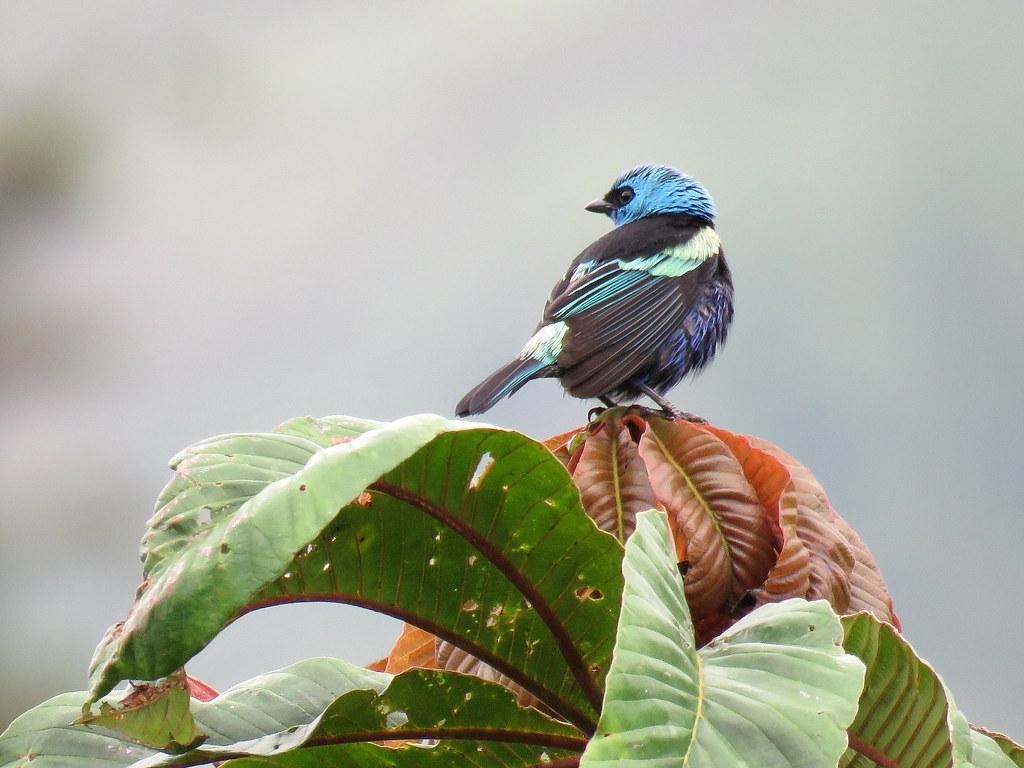 Vestida de turquesa y negro, la Tángara Real se recrea revoloteando entre arbustos y malezas altas en busca de frutillas e insectos que suelen ser sus manjares preferidos.