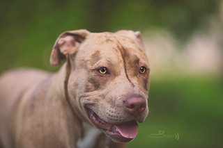 Merle Pitbull | by RebaSpike