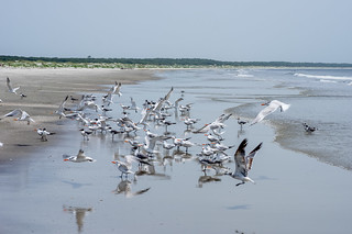 Seagulls and terns (3)