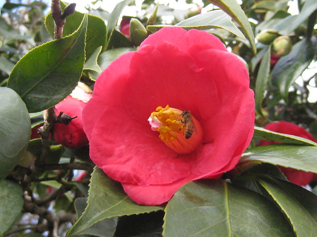 A Pink Camellia Japonica and Friend
