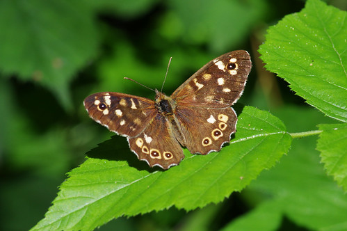cambridgeshire monkswood parargeaegeria wild butterfly insect nature speckledwood wildlife