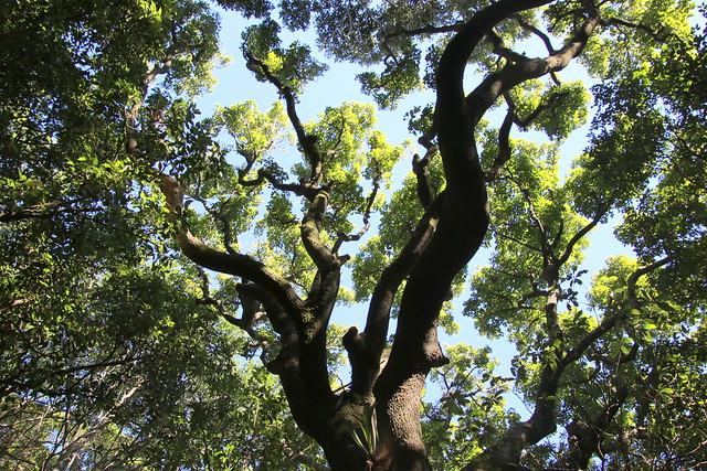 Ribbonwood (Euroschinus falcatus)