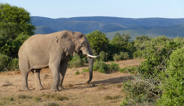 African Elephant (Loxodonta africana) male ...