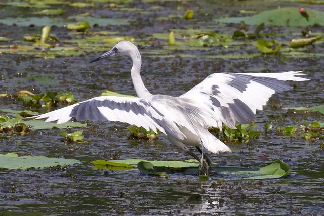 Hop-a-long Heron