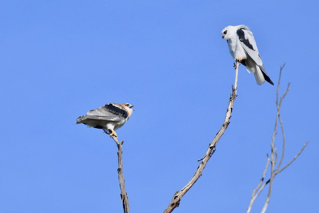 Black-shouldered Kites ( now Dad I'm ready  )