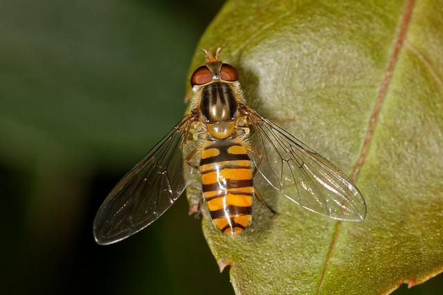 "Marmalade Hoverfly ""Episyrphus balteatus"""