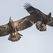 Bald Eagle Youngsters working on flying skills