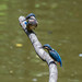 Kingfisher -202006290382.jpg