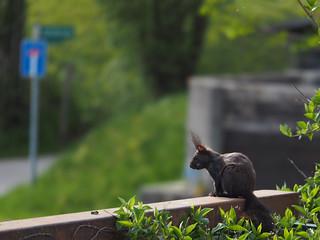 Sciurus Squirrel on Garden Fence © Garten Zaun Eichhörnchen ©