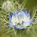 White & Blue Nigella damascena, 5.13.20