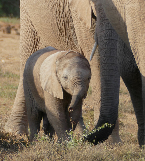 African Elephant (Loxodonta africana) young male ...
