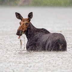 Raining Cats & Dogs.. AND Moose!! 😳😜