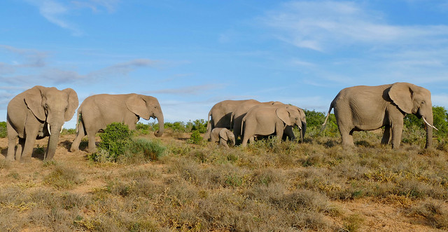 African Elephants (Loxodonta africana) herd ...