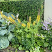 Hostas, Rocket liguria and hostas again