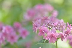 hydrangea  (由  snowshoe hare*
