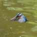 Kingfisher -202006290800.jpg