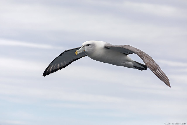 White-capped / Shy albatross