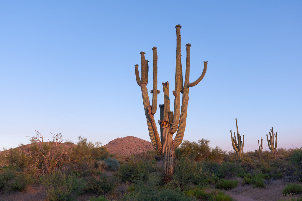 A battered old saguaro on the Morning Vista Trail has fruit atop its many remaining arms, while some of the other arms have been snapped in half or broken off altogether, taken in McDowell Sonoran Preserve in Scottsdale, Arizona in June 2020