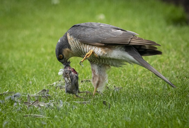 Sparrowhawk with lunch