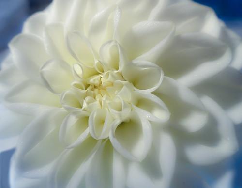 Soft focus white dahlia