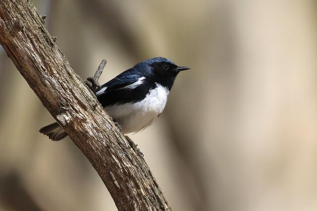 Black-throated Blue Warbler - Paruline bleue ( Richard )