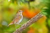Rufous-tailed Robin standing on a tree branch | 紅尾歌鴝站在樹枝上
