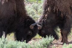 Bison Battle