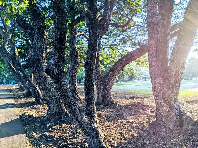 Jingili trees