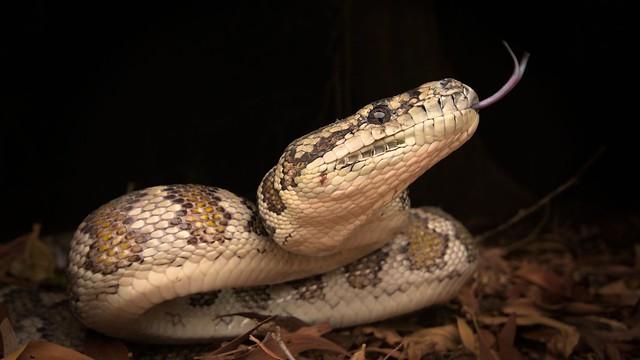 Darwin Carpet Python