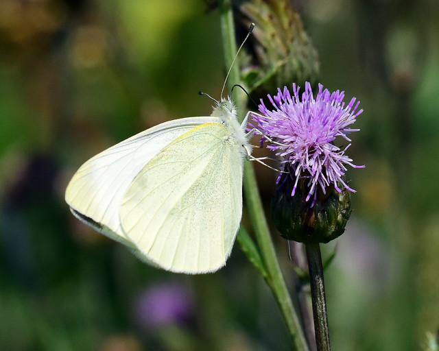 811_1334.jpg=070220Cabbage White Butterfly