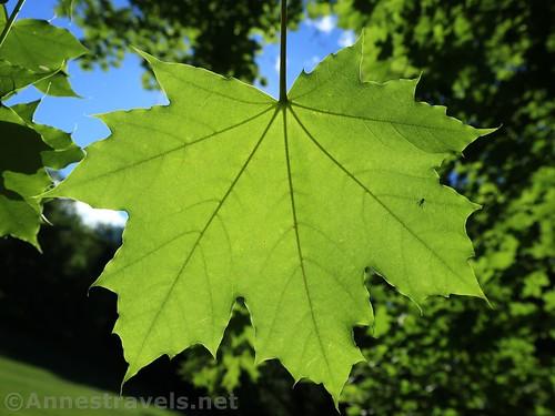 Maple leaf, Webster Park, New York