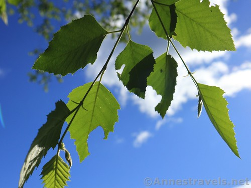 Leaves in a tree near the field, Webster Park, New York