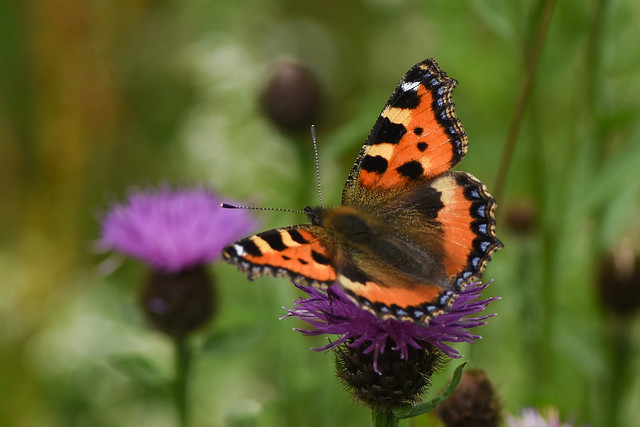 another tortoiseshell... (184/366)
