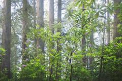 Rhododendron Bloom, Redwood National Park