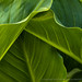 Zantedeschia aethiopica Leaves, 5.4.20