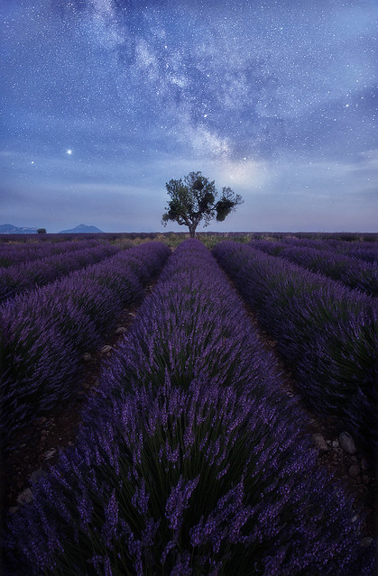 Starry lavenders