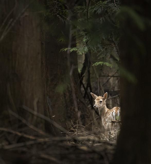 Fallow-deer-fawn_6263