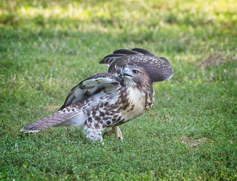 Fledgling flamenco on the grass