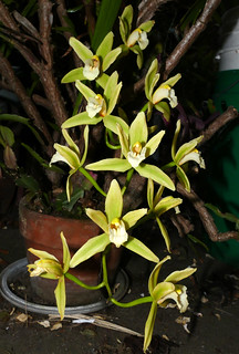Cymbidium Orchid Conference 'Tamiko' hybrid orchid 5-20