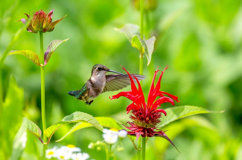Ruby-throated Hummingbird Loving Bee Balm by Steve Brynes