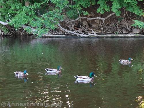 Four mallard ducks in Mill Creek beside the parking area, Webster Park, New York