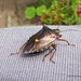Shield Bug on Shirt1